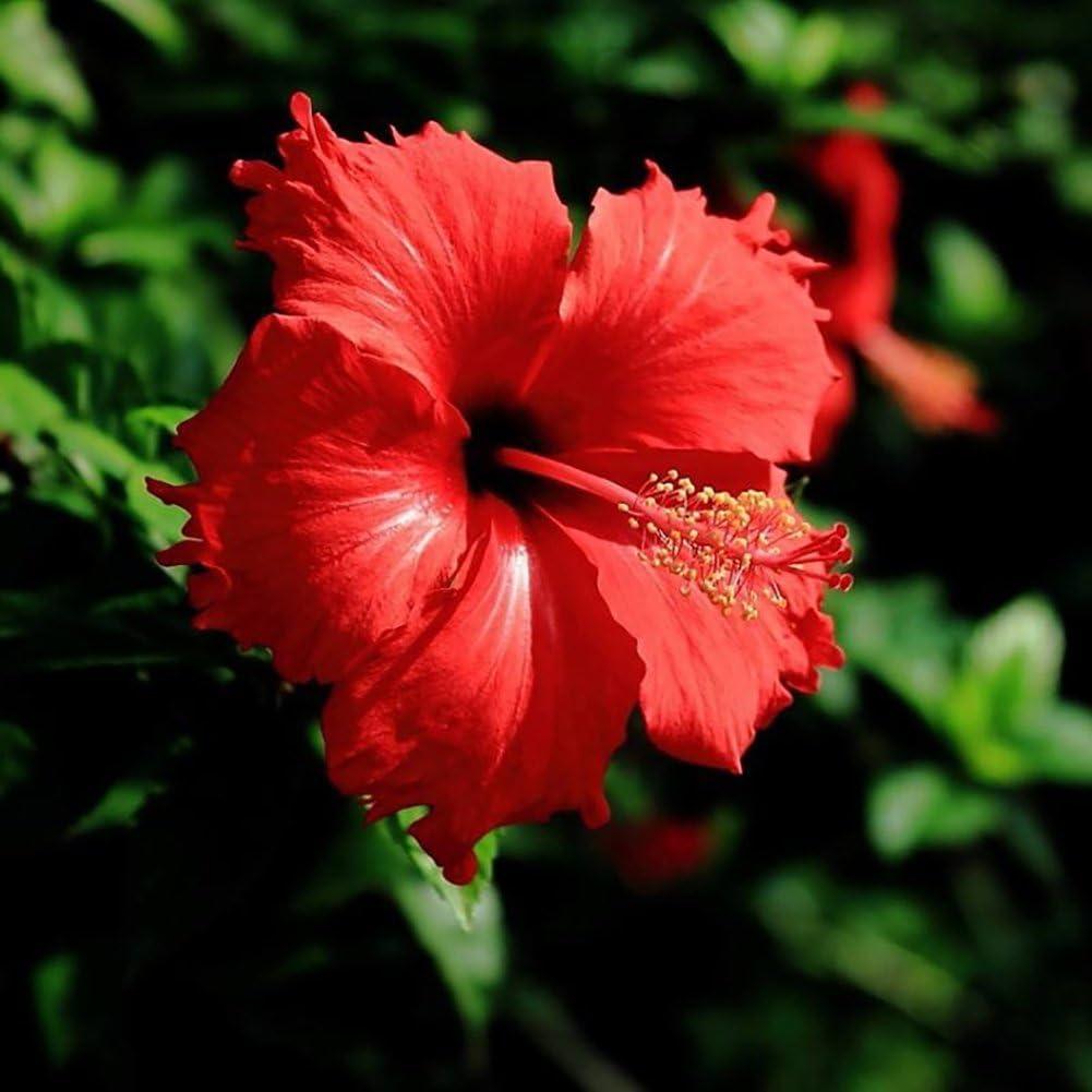 lamta1k 100Pcs Rare Hibiscus Gigante Exóticas Semillas de Coral Home Garden Flores Decoración Calidad de la Planta y Alta tasa de Supervivencia - Red Hibiscus Seeds