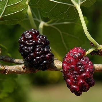 8678c4fcd0 Morus nigra | Black Mulberry | Ornamental Garden Tree | 5-6ft ...