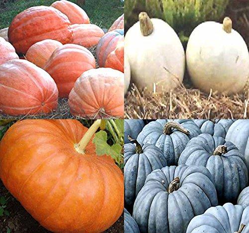 White Pumpkin Seeds - BIG PACK (80-90+) Dill Atlantic Giant, Casper White, Cinderella Rouge vif D'Espampes, Jarrahdale Blue Pumpkin Seeds - Non-GMO Seeds By MySeeds.Co (BIG PACK - Pumpkin Mix II)