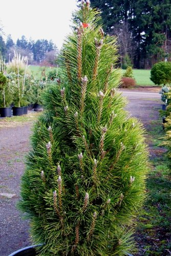 Pine Tree Austrian (Frank Austrian Pine 2 - Year Graft)