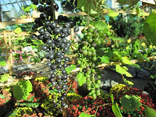 Grape vine: Vitis vinifera