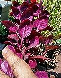 LovelyGarden Little Ruby Joseph's Coat 1 LIVE PLANT Alternanthera dentata Groundcover Bush
