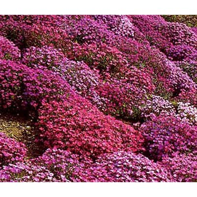 AUBRIETA ROCK CRESS CASCADE MIX Aubrieta Hybrida Superbissima - 50 Seeds : Garden & Outdoor