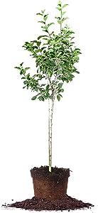 Dorsett Golden Apple Tree - Size: 5-6 ft, Live Plant, Includes Special Blend Fertilizer & Planting Guide