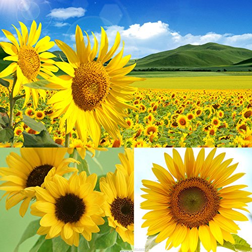 Wintefei 40Pcs Giant Yellow Sunflower Rare Flower Seeds Annual Seed Organic Helianthus