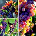 FD3628 Organic Rainbow Grape Seeds Sweet Grapevine Vine Home Garden Plant 10PCs