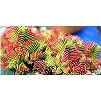 Crassula capitella - Planta suculenta - 30 Semillas