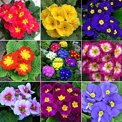 ASTONISH Seeds Package: 100 Mixed Primrose Primula Seeds Polyanthus Elatior Perennial Potted Flower~C6