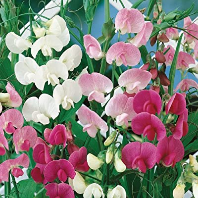 """0.5g (Approx. 9) Perennial Sweet Pea Seeds Bot.: """"Lathyrus Latifolius"""" Very Decorative and Extremely Fragrant 'Fresh Seeds - Best Before 12.2017!>"""