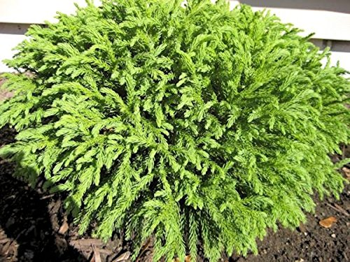 3 GALLON-Globosa Nana, EXQUISITE, Dwarf Japanese Cedar, Dense, dome shaped foliage, droopy, weeping look. Evergreen-compact Moundy Plant - gallon by Pixies Gardens (Image #2)