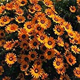 African Daisy - Orange - 50 seeds