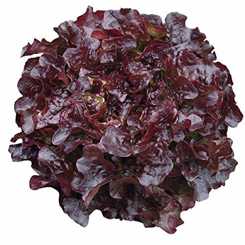 Lettuce Seed Pelleted - Hydroponic Oakleaf Lettuce Seeds - Navara - Pelleted - Certified Non-GMO NFT DWC (100 seeds)