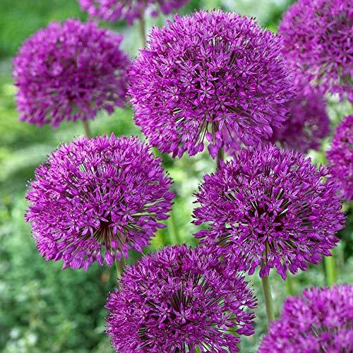 20 Purple Sensation Allium Bulbs--4-6 Inch Flower Diameter!