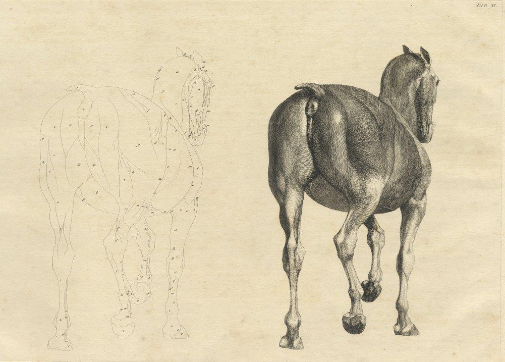 Amazon.de: Vintage Anatomie Pferd aus der Anatomie des Pferdes ...