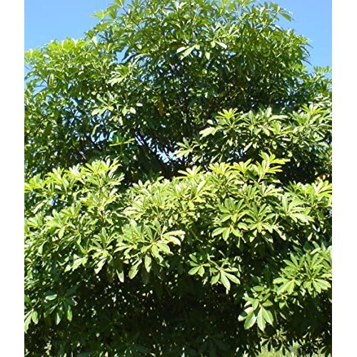 High quality arjun tree terminalia arjuna 3 giant seeds koha super high quality arjun tree terminalia arjuna 3 giant seeds koha super rare for tropical growers mightylinksfo