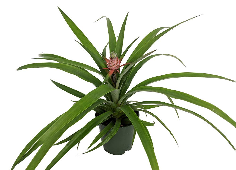 Fruiting Pineapple Plant - Ananas comosus - Great Indoors/Out - 5'' Pot by Hirt's Gardens (Image #2)