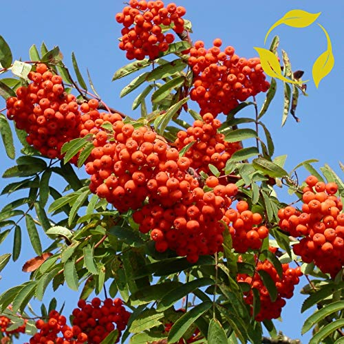 European Mountain ASH Sorbus Aucuparia 20 Seeds by Parahita Store ()