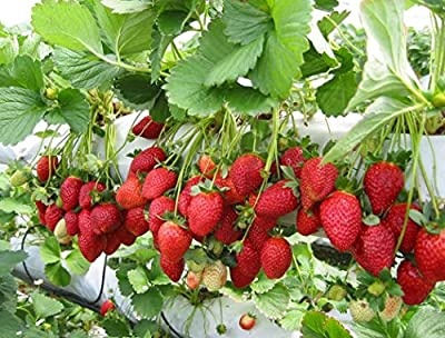 50 Stratified Cascading Strawberry Plant SEEDS - JDR Seeds