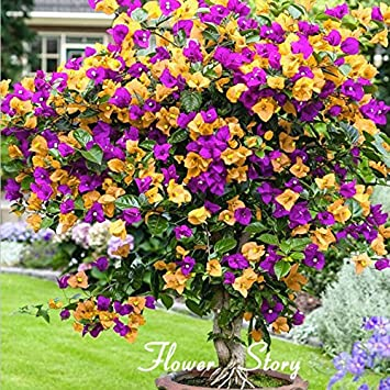 100 Color Mix Pot Bougainvillier Balcon Fleur Plante Bonsaï Cour
