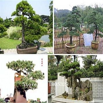 Semillas De Bonsái 50 Paquetes De Semillas Del árbol Bonsai Semillas