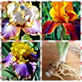 3 Tall Bearded Irises - Iris 3 Combo Pack - Tall Bearded Iris Rhizome Upc 656793276858