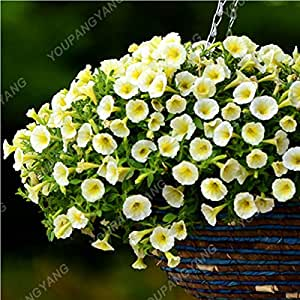 200PCS color mezclado Petunia Semillas Semillas de flores las flores perennes para jardín Bonsai crisol de establecimiento Hermosa decoración del hogar Borrar