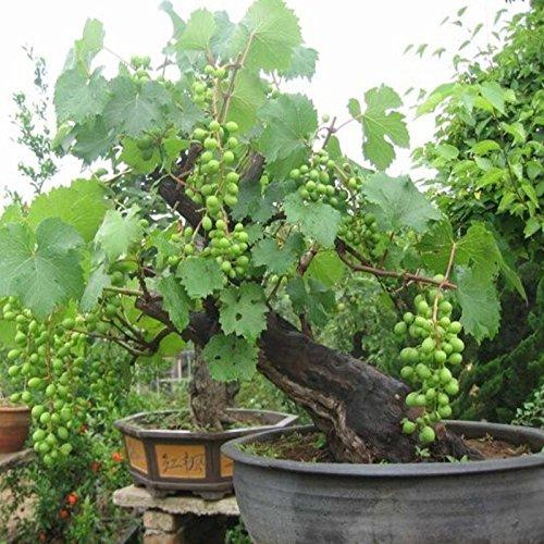 Bonsai Green Grapes Seeds Pot Dwarf Fruit Home Garden Climbing Tree Rapid Growth Variety - 5pcs/lot SVI