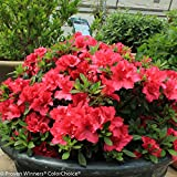 "Red Bloom-A-Thon® Everblooming Azalea - Ever Blooming - Proven Winners - 4"" Pot"
