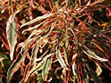 Acalypha wilkesiana 'Mardi Gras', Copperleaf - 3 Gallon Live Plant - 4 pack