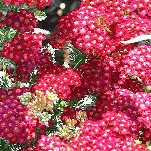 Everwilde Farms - 2000 Red Yarrow Wildflower Seeds - Gold Vault Jumbo Seed - Yarrow Gold