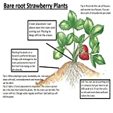 15 Sweet Charlie Strawberry Plants Heirloom Quality -INCREDIBLY SWEET BERRY- (Bare Root Pack of 15 for $10.95) Best in Zones: 3-9. Organic grown in USA.
