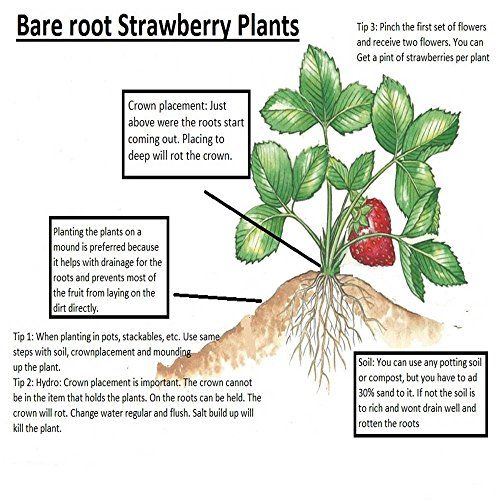 Evie 25 Everbearing Bare Root Strawberry Plants by Hirts: Fruits & Berries (Image #1)