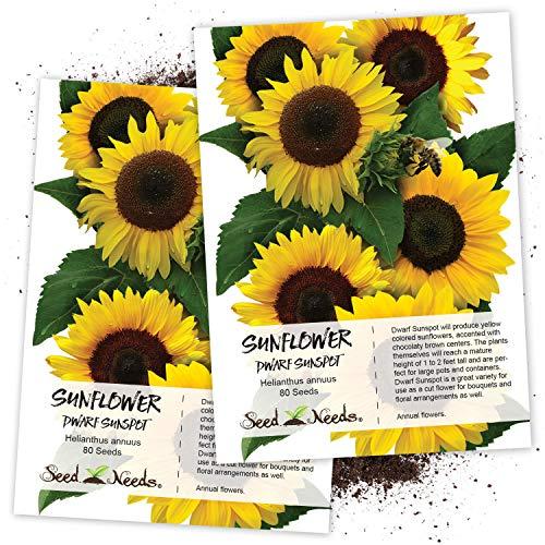 (Seed Needs, Dwarf Sunspot Sunflower (Helianthus annuus) Twin Pack of 80 Seeds Each)