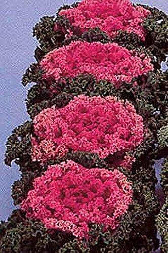 25 Seeds of Flowering Kale Nagoya Series Rose (Nagoya Series)