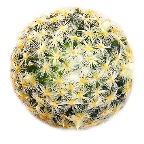 Mammillaria Carmenae Isla Carmen Pincushion Cactus (2 inch)