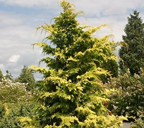 Crippsii Golden Hinoki Cypress - Live Plant - Quart Pot