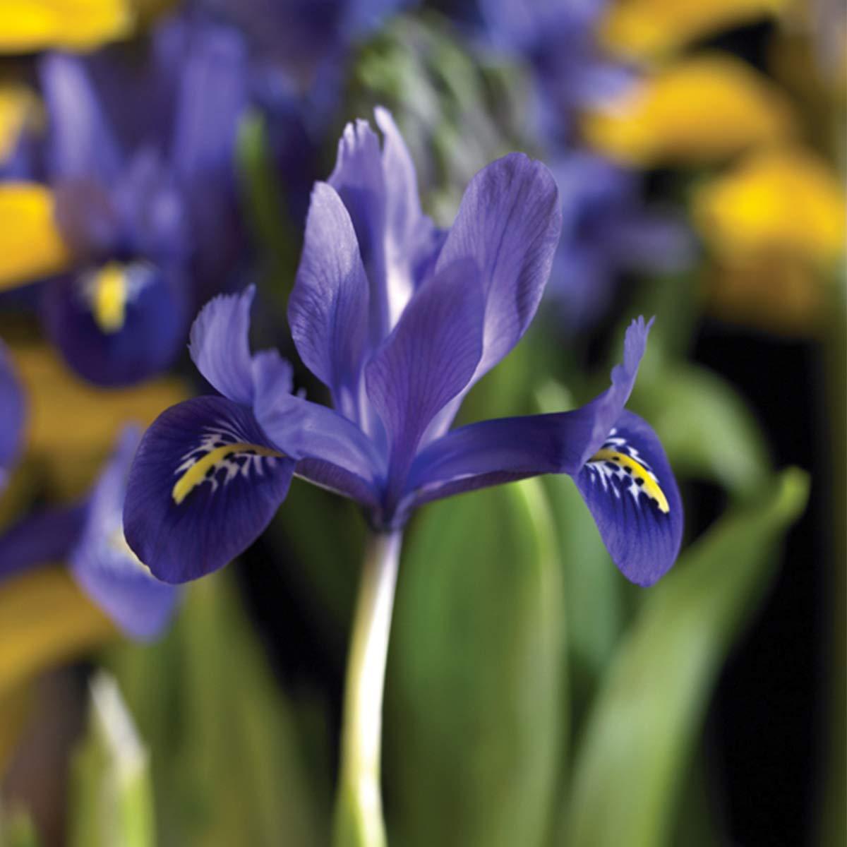 Burpee Harmony Iris Reticulata   15 Large Flowering Fall Bulbs for Planting, Purple