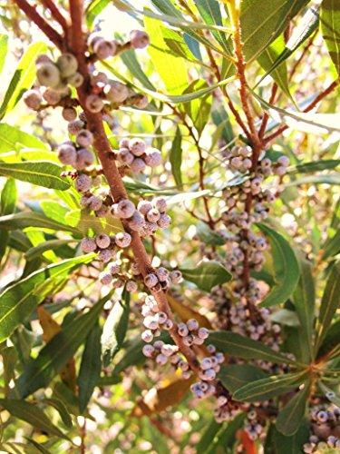 50 Seeds Myrica Cerifera, Waxmyrtle Native Bayberry Wild Tree Bonsai Shrub Seed