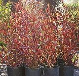 Purple Hopseed Bush Aka Dodonaea V. 'Purpurea' Std. Live Plant Fit 05 Gallon Pot