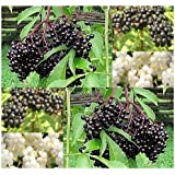 3 Packs x 50 American Elderberry Seeds - Sambucus canadensis - EDIBLE FRUIT - Edible Hedge Shrub With Fruits That Makes GREAT Jellies - FRAGRANT EDIBLE FLOWERS - Zones 3 - 9 - By MySeeds.Co