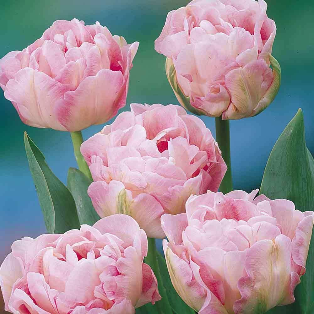 Portal Cool 30: Doble Late Angelique Peony rosado Estilo manantial perenne bulbos de flores del tulipán