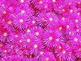 20 drosanthemum hispidum Seeds Flowers Roses Desert Dahlias no orbea caralluma
