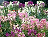 5000 Cleome Seeds - Mixed White, Pink, Purple - Spider Plantss - Nectar Flower for Monarch Butterflies