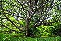 山形県唯一の離島である飛島。タブノキの大木 写真パネル YMA-059-M25 (80.3×53cm)