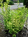 Goldliguster Ligustrum ovalifolium Aureum 60-80 cm hoch im 5 Liter Pflanzcontainer