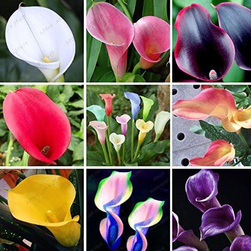 200 cala colorido semilla lirio, colores mezclados, raras Semillas plantas de flores, jardines domésticos, en maceta de plantas Balcón, absorción de radiación: Amazon.es: Jardín