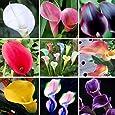 200 cala colorido semilla lirio, colores mezclados, raras Semillas plantas de flores, jardines domésticos, en maceta de plantas Balcón, absorción de radiación