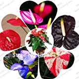 High quality (100 pieces / lot), Anthurium seeds potted balcony radiation planting seasons sprouting 95% The full range