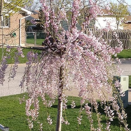 Amazon Com 25seeds Dwarf Pink Weeping Cherry Tree Blooming