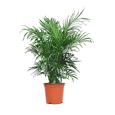 "AMERICAN PLANT EXCHANGE Cat Palm Chamaedorea Catatactarum Low-Maintenance Cold Hardy Live Plant, 6"" Pot, Indoor/Outdoor Air Purifier : Garden & Outdoor"